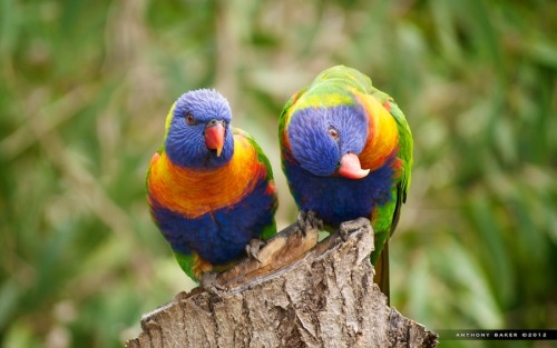 animals-animals-animals:  Rainbow Lorikeets (by Anthony Baker)
