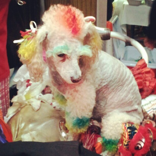 Joseph and the amazing technicolor #poodle #nightout #color #nyc  (Taken with Instagram)