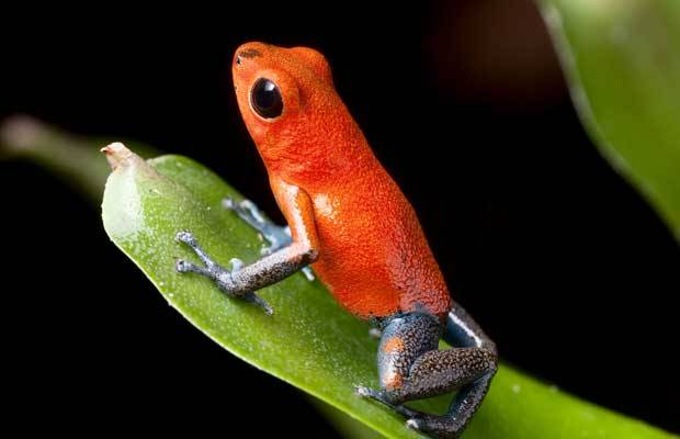 the red poison dart frog of central america