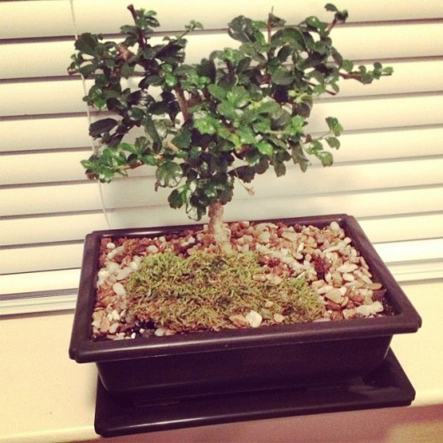 Mike and i's bonsai :) I love that it looks like a heart 💜💜💜 #love  (Taken with Instagram)