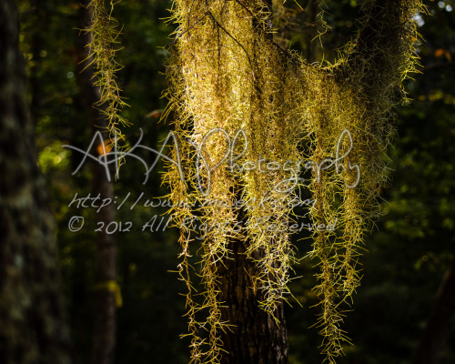 Golden Spanish Moss