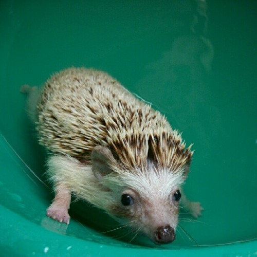 Bath timee! :) #hedgehog #pet #bath #nofilter (Taken with Instagram at Cherry's Residence)