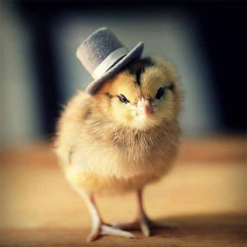 ianbrooks:  Chicks in Hats by Julie Persons The Internet was pretty much invented so that we could look at pictures of animals in funny hats, but Julie wants to help you cut out the middle man by offering specially designed hats for baby chickens at her etsy, though you'll have to procure the chicks yourself.  (via: Incredible Things / Technabob)