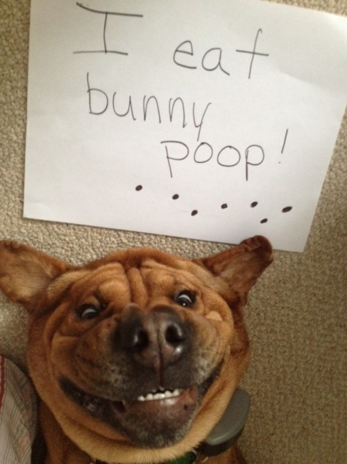 dogshaming:  Charley is our Bassett Shar-Pei rescue who loves to eat bunny poop!   Editor's note: best. face. ever.