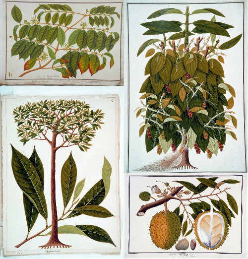 "heaveninawildflower:  Four watercolour drawings of plants from Malacca commissioned by William Farquhar. Clockwise from top left, they are: ""Nauclea Gambir (Hunter) now Uncaria Gambir; Gambeer or Gambare; Pokok Gambir [in Jawi]"". Gambier (Uncaria gambir, known in Malay as gambir). Its leaves are added to betel leaves (Piper betle) and slices of areca nut (Areca catechu) and chewed as a mild stimulant. ""Lava Etam (Malay); Black Pepper; Piper Nigrum; Lada Hitam [in Jawi]"". Black pepper (Piper nigrum; Malay lada hitam). ""Doorean; Durio stercorae; D. zibethina Linn; Durian [in Jawi]"". Durian (Durio zibethinus). ""Pendarahan; Pendarahan [in Jawi]"". Wild nutmeg (Gymnacranthera farquhariana or Myristica farquhariana; Malay pendarahan). This is the only plant that is currently named after William Farquhar. between 1819 and 1823. National Museum of Singapore. Wikimedia"