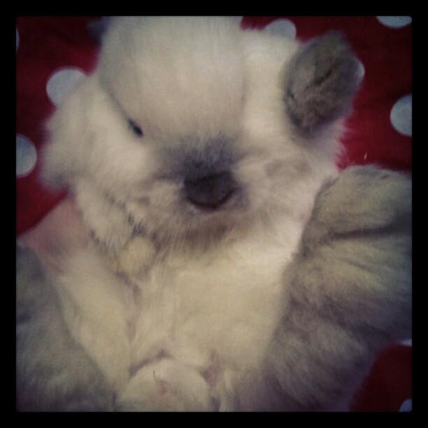 Little powder puff #bunny #rabbit  (Taken with Instagram)