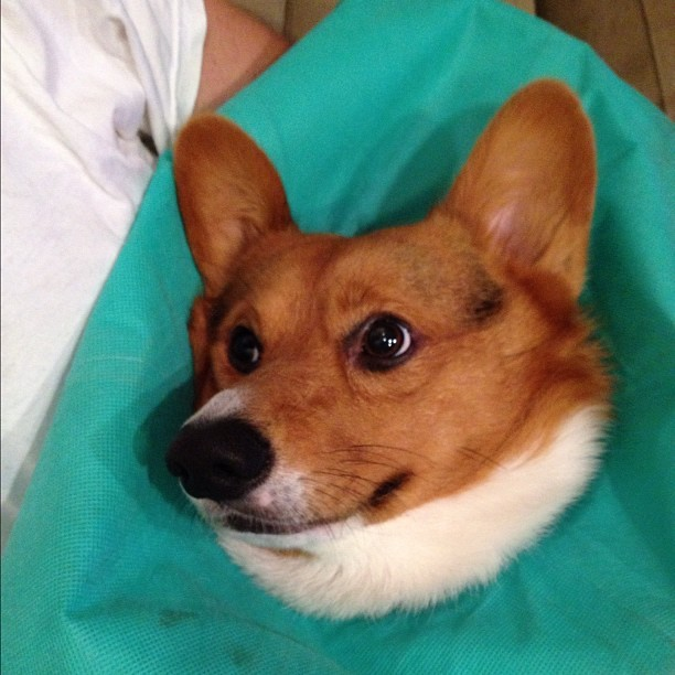 Funny face #corgi #cute #love #petstagram #corgistagram #igers #dog #photooftheday (Taken with Instagram)
