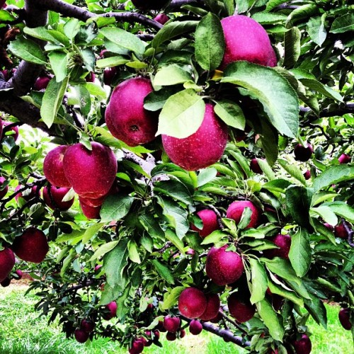 Apple Tree (Taken with Instagram at Apple Hill Farm)