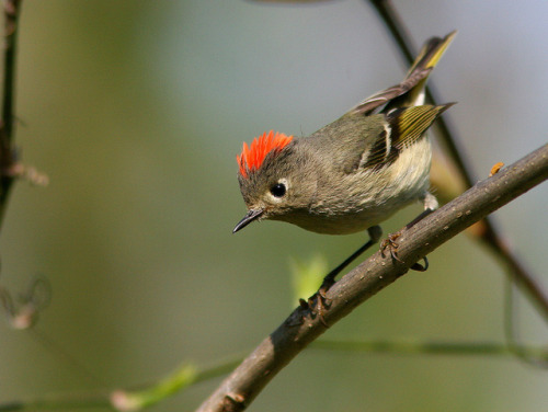 animals-animals-animals:  Ruby-crowned Kinglet (by kenschneiderusa)