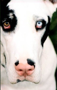 peacefulpawsibilities:  dane face.