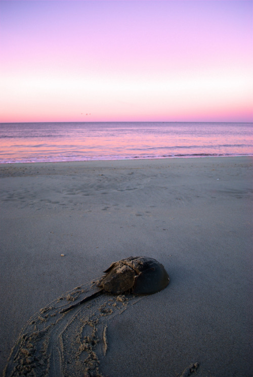 iamparadroid:  Horseshoe crab~