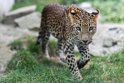 Sri Lankan leopard (by CROW1973)