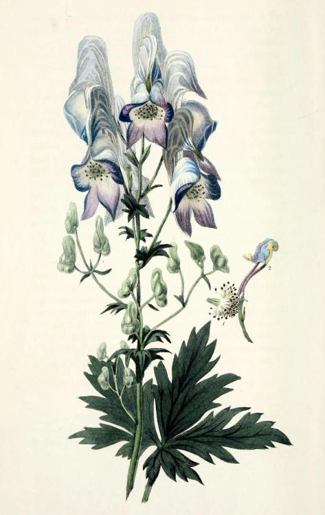 "biomedicalephemera:  Aconitum variegatum - Wolf's Bane, Monkshood Aconitum is thought to be from the Greek ἀκόνιτον - ""without struggle"". And it is without struggle that this plant causes death. This beautiful perennial flower can be seen through the autumn months in forests and taigas in Europe, and is popular as an ornamental in gardens, lending color long after summer blooms have faded. It can also be found in the traditional bikh poison, nepaline, in the writings of Ovid and Dioscorides, and in the bodies of murdered Borgia family members. Flora Conspicua; a selection of the most ornamental flowering, hardy, exotic and indigenous trees, shrubs, and herbaceous plants. Richard Morris, 1826."
