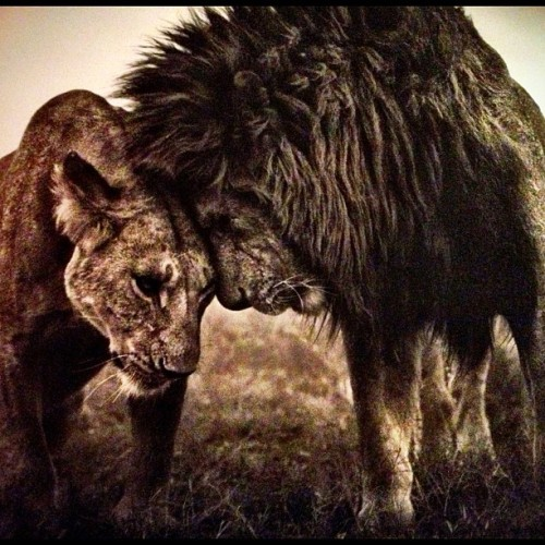 #nick #Brandt amazing #photographer #capturing the #wild #lion & #lioness #soul #connection (Taken with Instagram)