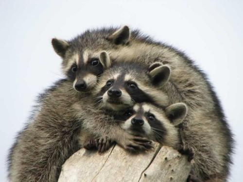 llbwwb:  Raccoon Cuddles (via Unnamed - Pixdaus)