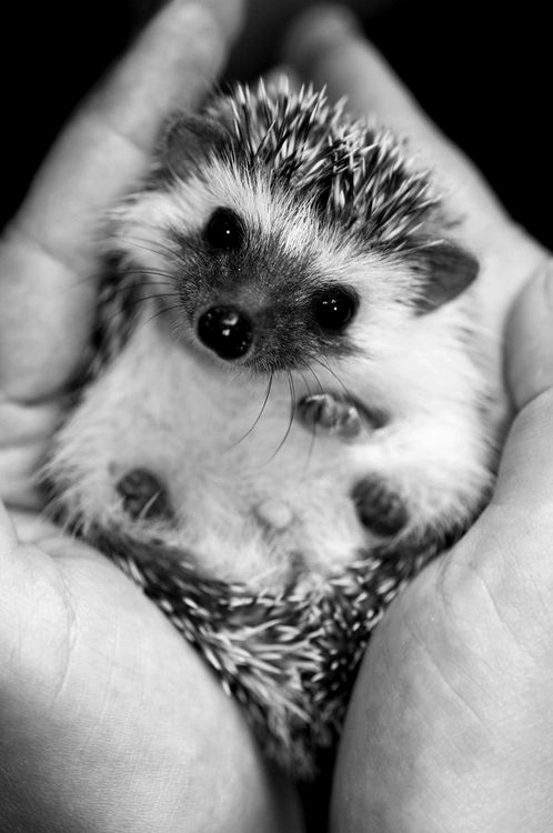 i really want a #hedgehog