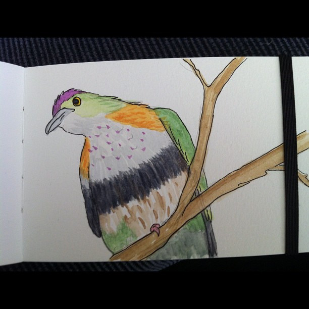 Superb fruit dove by jellibat