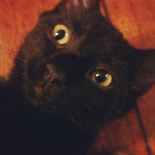 Loki's crazy eyes would make Tom Huddlestone proud #cats  (Taken with Instagram)