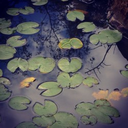 #water #reflection #lotus #kyoto  (Instagramで撮影)