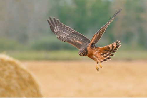 Northern Harrier Hawk by Raymond Lee
