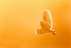 Golden Barn Owl by mallardg500 on Flickr.