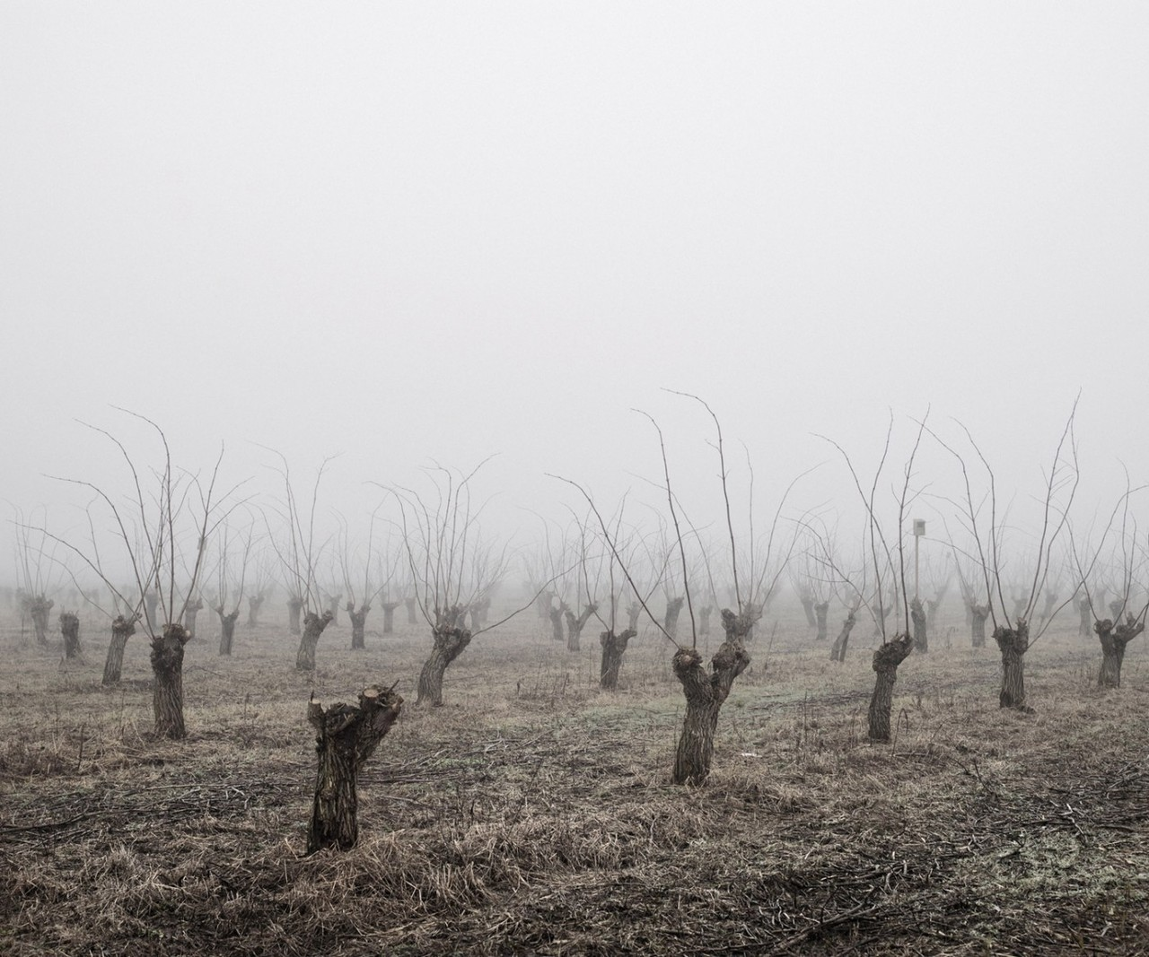 Tamas Dezso  Locust Trees. North-East Hungary, 2011.