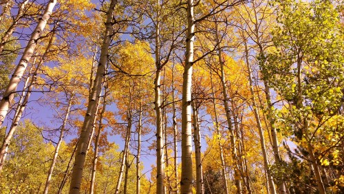 Towering quakies. #Colorado #fallcolor #nofilter