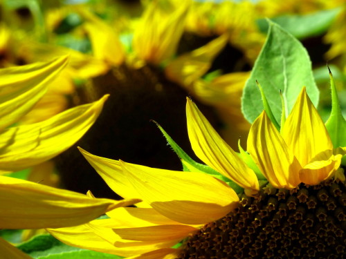August 2012, France, most of the sunflowers already dried out, but luckily we found these nearby Montauban.