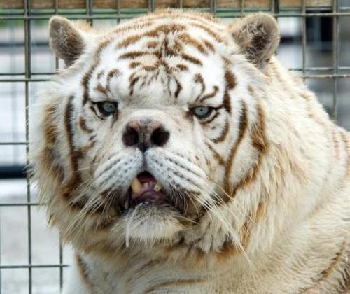 where can i find a essay about white tiger