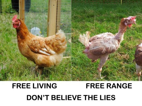 open-the-cages:  The hen on the left lives with us, free, the hen on the right was recently rescued from a 'free range farm'. Don't buy into free range lies. - Vegan Vids and Posters