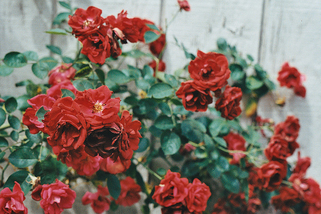 makafushigi:  painting the roses red. by anηie on Flickr.