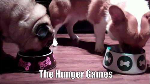 pugandcorgi:  Pug and Corgi star in The Hunger Games (2012) Let the Hunger Games begin! Human Note: They eat in like 5 seconds and then try to eat the other's food. They usually eat way far apart.  Sometimes I think about what it would like to own a corgi and another breed of ridiculous dog. Pug, chocolate lab and Frenchie are all on the list. PUG LIFE!