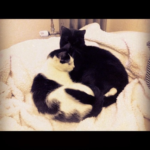 onesmallfire:  Its so cold in the apartment, theyve made a kitty pretzel.  Get a room, Kitty Pretzel. (Taken with Instagram)
