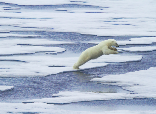 ecocides:  Polar bear jumps between ice floes - Franz-Josef Land, Arctic Ocean, Russia | image by Vadim Balakin