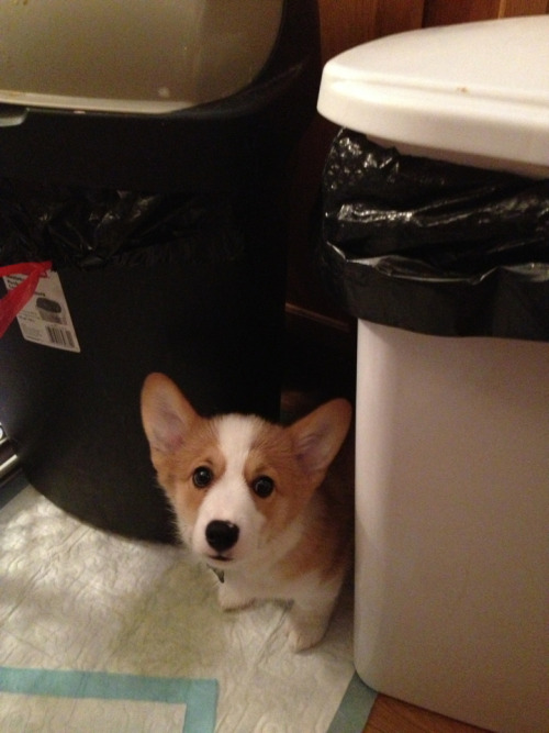 awwww wilson!  wilsonthecorgi:  It's okay, Wilson. I promise the vacuum cleaner won't eat you. You can come out from your hiding spot.