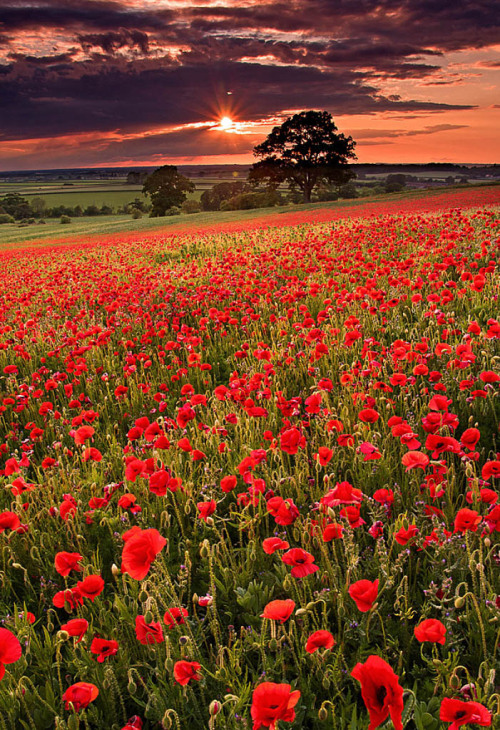 enchantedengland:     Poppy field in Badbury, Oxfordshire, England (Phil Selby flickr)
