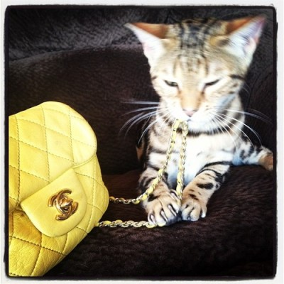 Just admiring my new purrrrchase. #rcoi #cats #bengal  #chanel by lexmacmillan