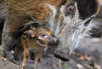 Red river hog mother Dagamba with her baby Tonka at the Zoologischer Garten zoo in Berlin.  Photograph: Ole Spata/AFP/Getty Images