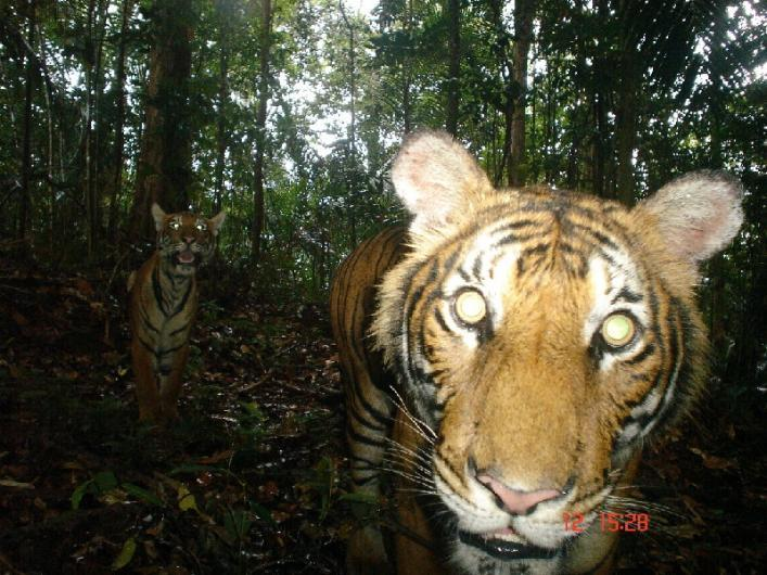 malayan tiger caught on camera trap by mark rayan darmaraj.