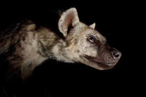 hyena caught on camera trap,south africa by kurt jay bartels.