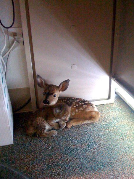 A bobcat cub and a fawn snuggling after being rescued from a forest fire.
