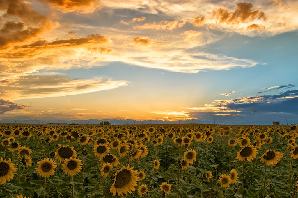 llbwwb:  Sunset over Sunflower FIeld (by DiamondPhotoGallery)  niec