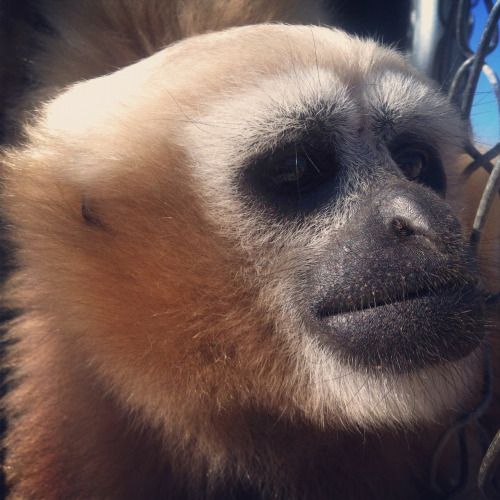 gibboncenter:  Mwei Ni thinking about when she will get her next banana… It's a serious issue.  OF COURSE IT IS!