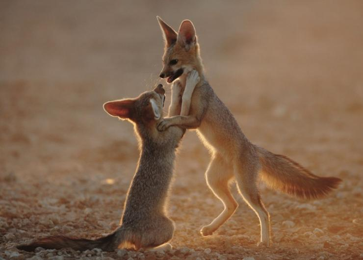 cape fox cubs at play               a photo by helmutniebuhr