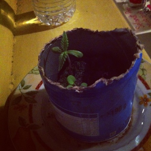 Baby Pringle plant starting to go ham #pringleplant #dearsweetchild #growupbigandstrong (Taken with Instagram)