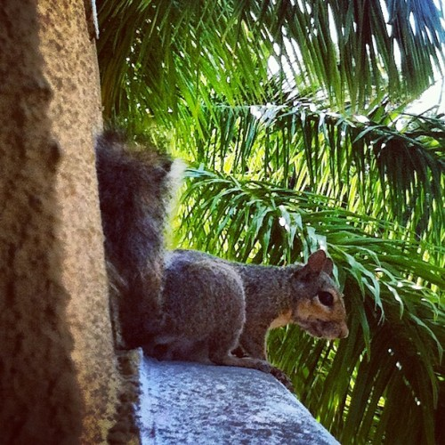 #squirrel #animal #cute #animal #morning #palmtree #sun #florida #iphonesia #iphoneonly #ikonic  (Taken with Instagram at Park Place & Gulf To Bay)