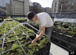 Can Urban Farming Go Corporate?  |  Reuters Farms have sprouted in cities across the country over the past several years as activists and idealists pour their sweat into gritty soil. Now Paul Lightfoot wants to take urban agriculture beyond the dirt-under-your-nails labor of love. He wants to take it corporate. In June, Lightfoot's company,BrightFarms, announced a deal with The Great Atlantic and Pacific Tea Co., or A&P, to provide New York City-grown vegetables to the local chain's supermarkets year-round. The goods will grow in what the company says will be the country's largest rooftop greenhouse farm, a high-tech hydroponic operation that will boost yields, allowing the company to face-off with organic vegetables trucked from California, cutting thousands of miles from the supply chain while aiming to provide a fresher product at a competitive price.