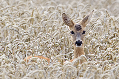 "earth-song:   ""Deer"" by Christoph Mischke"