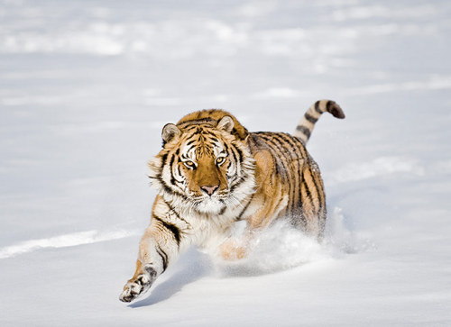 just-breezy:  Siberian Tiger by Chris Weston