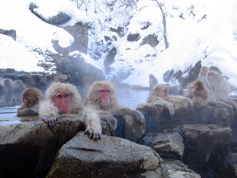 Hot tubbin' Japanese snow monkeys in the Jigokudani Hot Spring in Nagano, Japan.